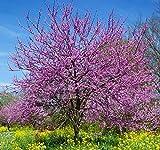 Semi di albero di Giuda - Cercis siliquastrum -