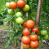 10 Samen Rheinlands Ruhm Tomate – platzfeste Früchte, altdeutsche Sorte