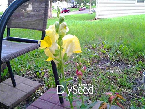 100-semi-un-sacchetto-nuovo-arrivo-petardo-snap-drago-semi-di-bonsai-per-la-casa-e-il-giardino-piant