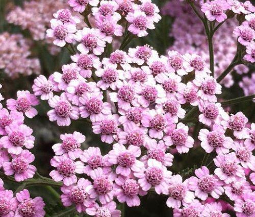 YARROW ROSE CERISE QUEEN Achillea millefolium - 1000 Semi Bulk