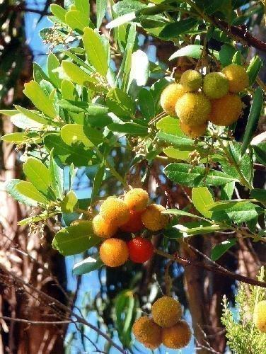 Wissenswertes Tomatenbaum /