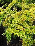 Gelbrote Berberitze Diabolicum - Berberis thunbergii (20-30)