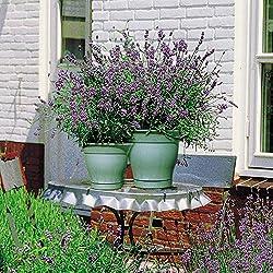 Lavendel Hidcote 7cm Topf - 5 pflanzen
