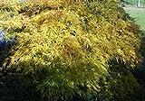 Acer palmatum Dissectum - Schlitzahorn Preis nach Größe 70-80 cm