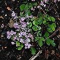 Zwerg Wiesenraute - Thalictrum kiusianum von Baumschulen - Du und dein Garten