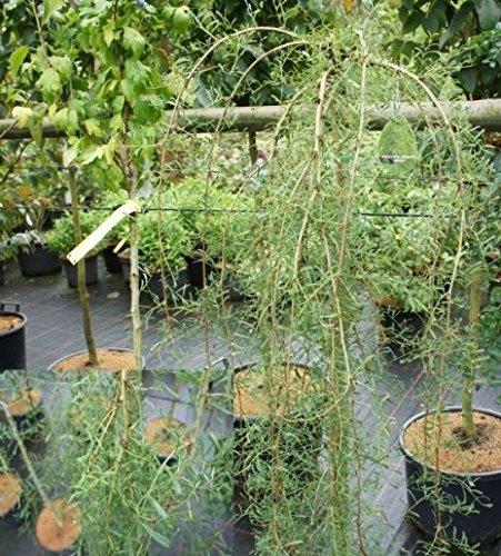 Caragana arborescens - Gemeiner Erbsenstrauch - Hängender Erbsenstrauch