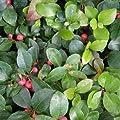 lichtnelke - Scheinbeere (Gaultheria procumbens) von Lichtnelke Pflanzenversand auf Du und dein Garten
