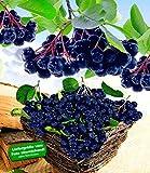 BALDUR-Garten Vitaminbeere Apfelbeere Aronia Viking, 1 Pflanze Aronia melanocarpa