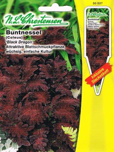 Buntnessel 'Black Dragon' dunkelrot, attraktive Blattschmuckpflanze, wüchsig, leicht zu kultivieren ( mit Stecketikett) 'Coleus blumei'