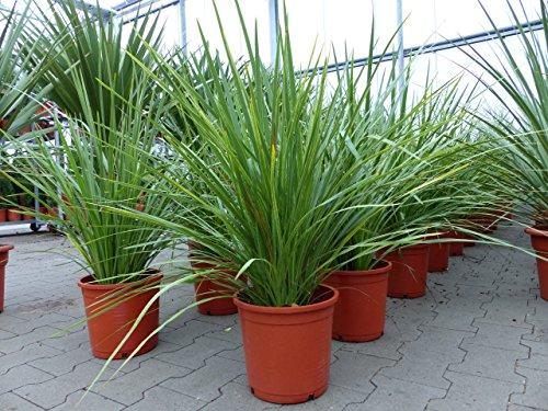 Dracaena 'Indivisa' Drachenbaum 80 - 100 cm, pflegeleichte Zimmerpflanze + Büropflanze (80 - 100 cm Busch)