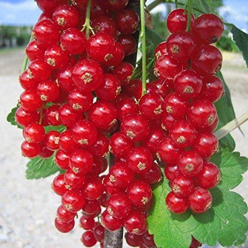 Grüner Garten Shop Rovada, rote Johannisbeere, Hochstamm, sehr aromatisch, ca. 80-90 cm Stamm im 3-4 Liter Topf