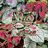#5: CALADIUM SPECTACULAR MIXED VARIETY BULBS COLLECTION OF FIVE COLORFUL BULBS. KRAFT SEEDS TRYING TO PROVIDE YOU ALL (FIVE) TYPE CALADIUM FLOWER BULBS IN ONE PACK. BY KRAFT SEEDS