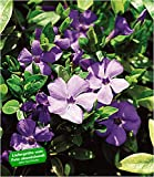 BALDUR-Garten Winterharter Bodendecker Vinca minor 'Blau' Immergrün, 3 Pflanzen