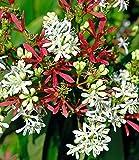 BALDUR-Garten Sieben-Söhne-des-Himmels-Strauch, 1 Pflanze Heptacodium miconioides