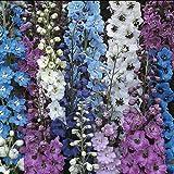 Pack x6 Delphinium Pacific Giants Mix Perennial Garden Plug Plants