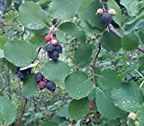 Saskatoon Serviceberry Seeds (Amelanchier alnifolia) 10+ Rare Seeds + FREE Bonus 6 Variety Seed Pack - a $29.95 Value! Packed in FROZEN SEED CAPSULES for Growing Seeds Now or Saving Seeds For Years