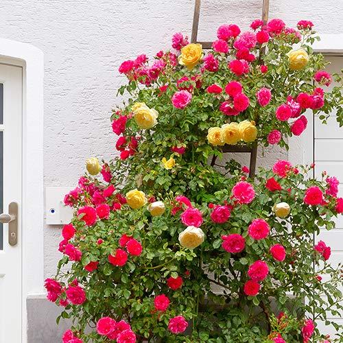 Qulista Samenhaus - Rarität 50pcs Himbeer-Duftend Kletterrose öfterblühend gefüllt Kletterpflanzen Blumensamen winterhart mehrjärhig