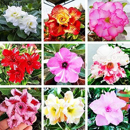 Pinkdose 2pcs Fiore rosa del deserto vero Adenium obesum bonsai fiore pianta piante grasse perenni piante in vaso al coperto per il giardino di casa: mix