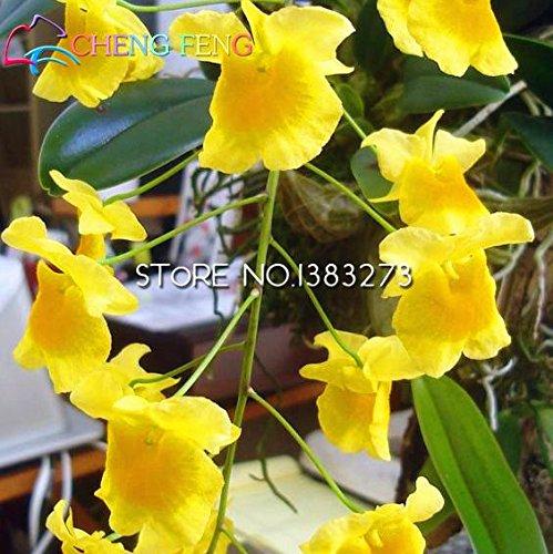 100pcs Beutel Dendrobium Samen Topf Samen Seltene Phalaenopsis-Orchideen-Blumen-Pflanzen Bonsai...