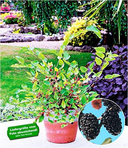 """BALDUR-Garten Maulbeere""""Mojo Berry®"""", 1 Pflanze Morus winterhart Maulbeerbaum für Töpfe Balkon und Terrasse"""