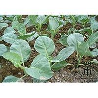 Vegetable Seeds verde organico ovale lungo Luffa, confezione originale, 10 semi / pack, asciugamani Tasty zucca Loofah Semi C106