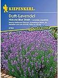 Lavandula angustifolia Duft-Lavendel Hidcote Blue Strain