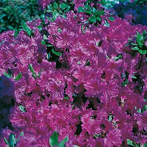 Japanische Azalee Königstein 30-40cm – Rhododendron obtusum – Alpenrose