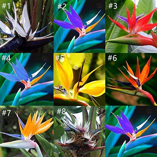 Keland Garten - Südafrika echte Paradiesvogelblume Samen 20Stück, Strelitzie Strelitzia reginae Lange Blütezeit, Ideal als Zimmerpflanze