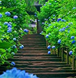 AST Works Gorgeous 10x Blue Hydrangea Flower Seeds Easy to Plant New Ideal Garden Present