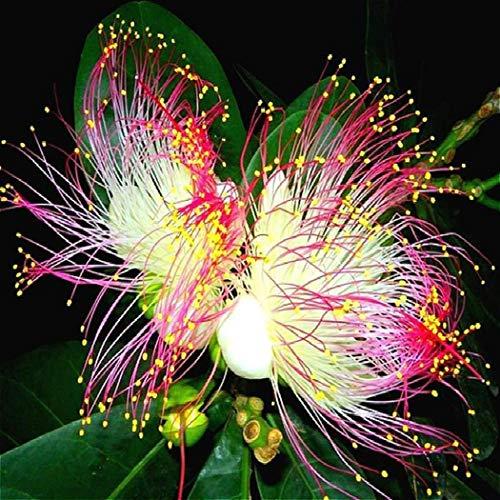 Soteer Garten- Selten Narzissenzwiebeln Samen Gartenpflanzen Zierblumen Saatgut Blumensamen mehrblütig mehrjaehrig winterhart (20 Korn)