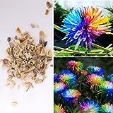 Rosepoem Las semillas 100pcs crisantemo del arco iris de colores de flores, margarita, rara mejores semillas de regalo para el jardín de DIY