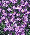 BALDUR-Garten Winterharter Bodendecker 'Mazus Reptans', 3 Pflanzen von Baldur-Garten bei Du und dein Garten