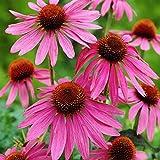 Roter Sonnenhut - Echinacea purpurea - Zier- / Arzneipflanze - 200 Samen