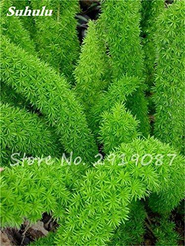 prezzo più basso! 100pcs coda di volpe semi, coda di volpe felci rari ornamentali bonsai piante perenni fiori crescita naturale per la casa e giardino 6