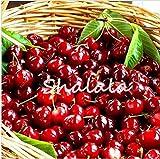 SANHOC 50pcs Bonsai Red Dwarf Ciliegio gaint Asilola Cherry Le Piante da frutto in Vaso perenne Cerasus pseudocerasus Frutta Giardino di casa: 10pcs