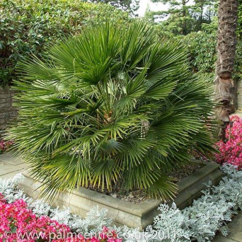 1-pianta-di-chamaerops-humilis-in-vaso-15cm-sempreverdi