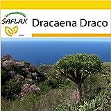 SAFLAX - Anzucht Set - Drachenbaum - 5 Samen - Dracaena Draco