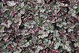 Purpurglöckchen, Heuchera cult.'Jade Gloss' im 9cm Topf