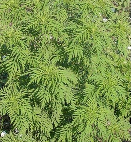 ragweed-ambrosia-artemisiifolia-150-pure-live-seed-packet-by-roundstone-native-seed