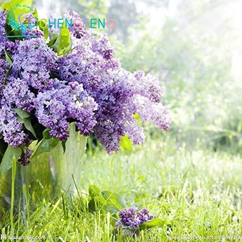 Shopmeeko 100 Graines Staude Flieder Baumpflanzen Gartentöpfe Seltene Blütenpflanzen, Semillas Bonsai Für Tohum Jardin Pflanzen Bonsai Easy Pl: Hellgrau