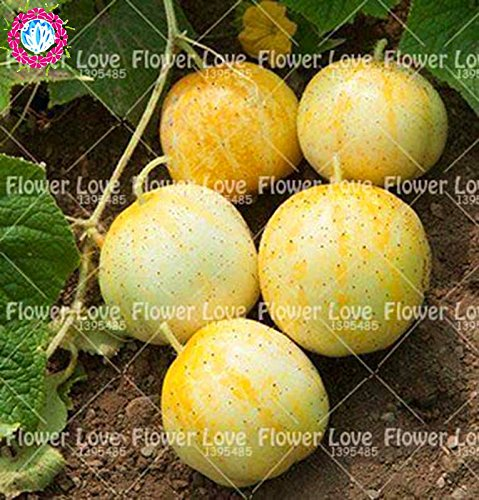 50 pcs citron concombre Graines Mini concombre légumes Graines NON-OGM biologique des plantes pour jardin