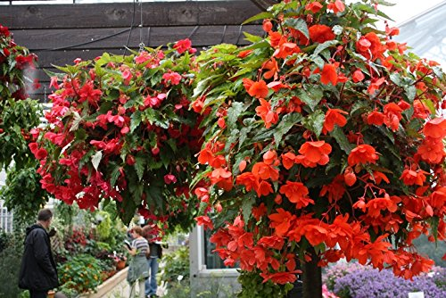 Flower Seeds For Hanging Baskets Best Hanging Plant Flower Seeds – Kitchen Garden Pack by Creative Farmer