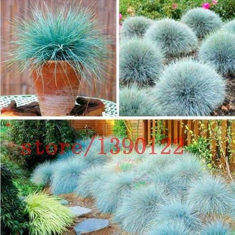 100 pezzi BLU festuca Fesnea Glauca Erba ornamentale perenne hardy ornamentali bella erba 2015 nuovi semi per il giardino di