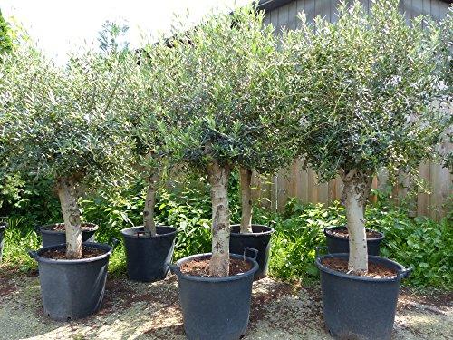 Olivenbaum, Olive 190 - 220 cm, 45 Jahre, winterhart, Olea Europaea