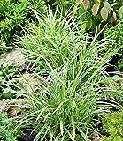 BALDUR-Garten Winterhart Carex'Ice Dance', 3 Pflanzen Japansegge Ziergras für schattige Standorte