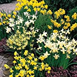 Humphreys Garden Narcissus Narcisse Mixte Rockery x 50 Bulbs Bulbes