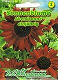 Sonnenblume 'Abendsonne' rot, stark- und schnellwachsend 'Helianthus annuus'