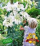 BALDUR-Garten Tree-Lily Pretty Woman 3 Stück Baumlilien Lilium -