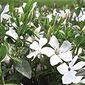 Immergrün Vinca minor Alba 9cm Topf 10 Stück von Gartenbau Menke - Du und dein Garten