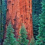 50 Redwood-Baum Samen Stamm Riesiger Baum Garten Wald